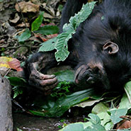 10oct2018_chimpanzes_outils_185.jpg